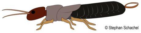 Zeichnung eines Ohrwurmes