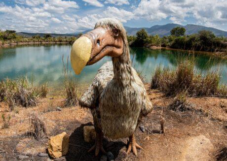 ein Dodo