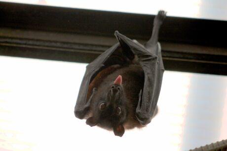 eine Fledermaus hängt kopfüber an einem Balken