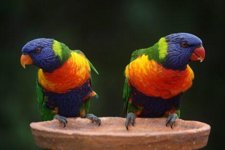 zwei bunte Papageien