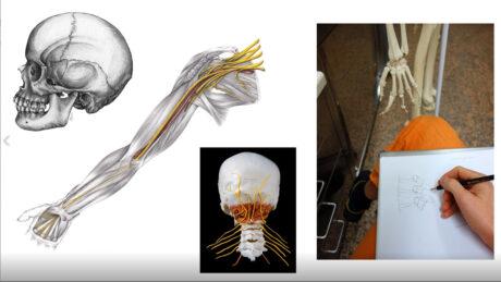 Anatomie-Bildercollage: ein Schädel, eine Armmuskulatur, Nervenstränge vom Gehirn zum Rückenmark, jemand zeichnet ein Modell-Skelett ab