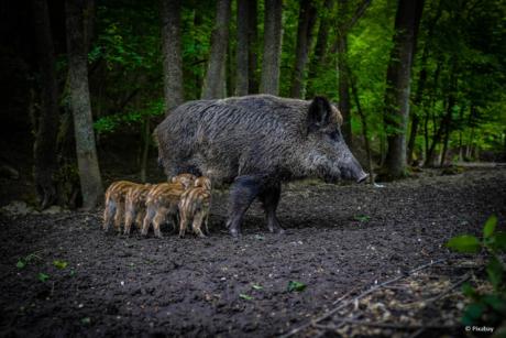 Wildschweine, Sau mit Ferkel im Wald