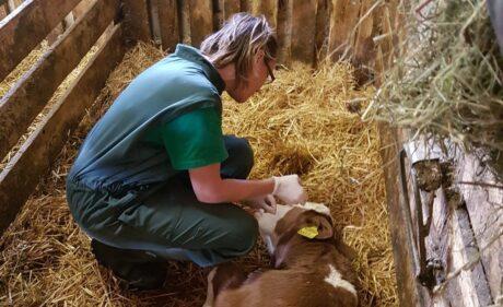 a veterinarian examines a cow; ein Tierarzt untersucht eine Kuh