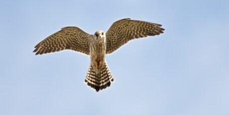 ein Falke