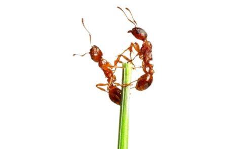 zwei Ameisen auf einem Stengel