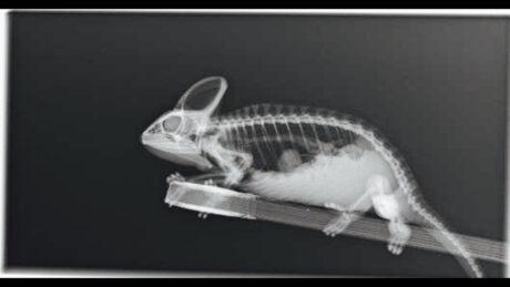 Röntgenbild eines Chamäleons