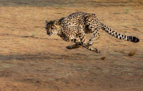 ein Gepard beim Laufen