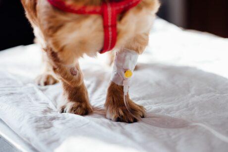 ein Hund begommt eine Infusion über sein Bein