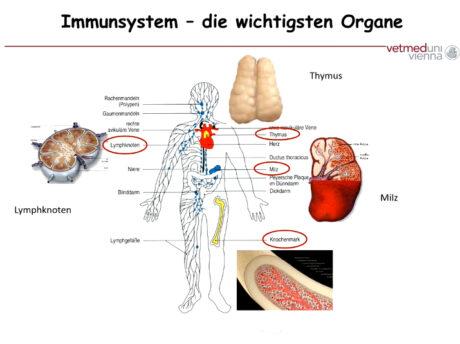 Illustration des menschlichen Körpers mit Beschriftung der Organe. Die wichtigsten Organe des Immunsystems sind hervorgehoben und mit Bild ergänzt.