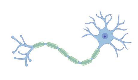 Zeichnung eines Neurons