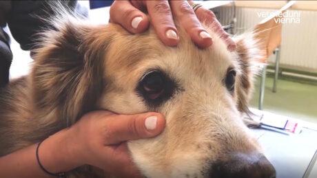 die Tierärztin untersucht das Auge eines Hundes