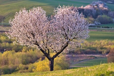 ein blühender Baum in Herzform